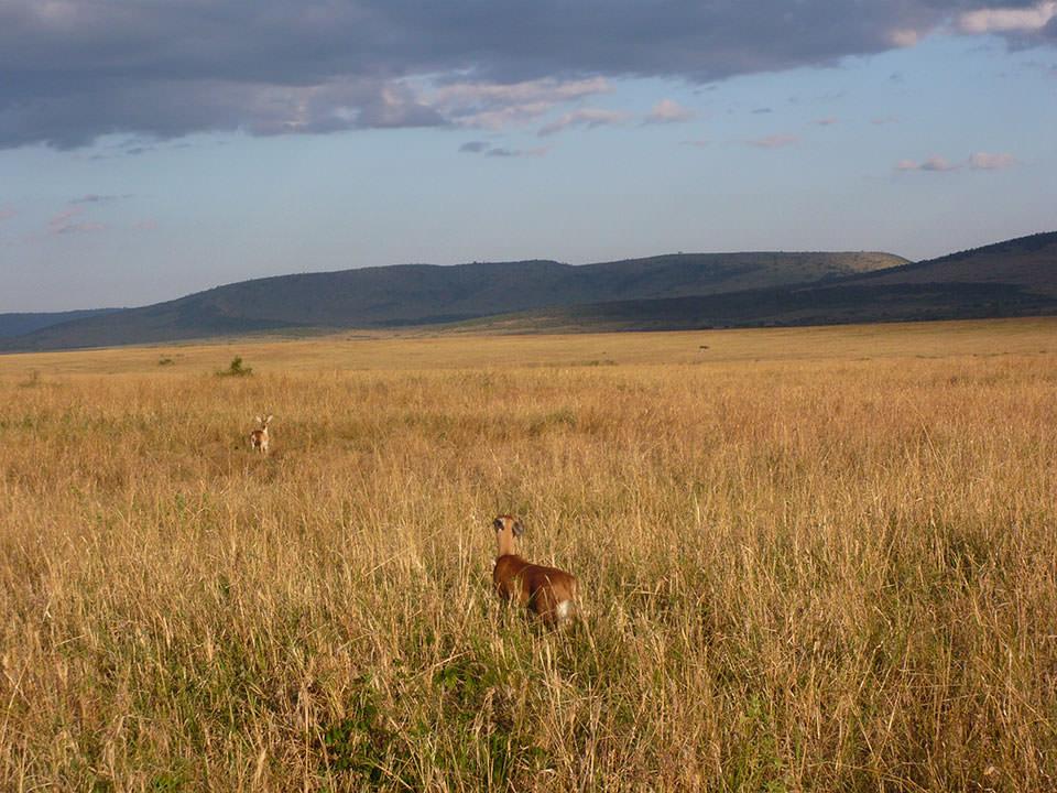 夕日が沈む黄金色の草原で、見詰め合う(?)2頭のディクディク。