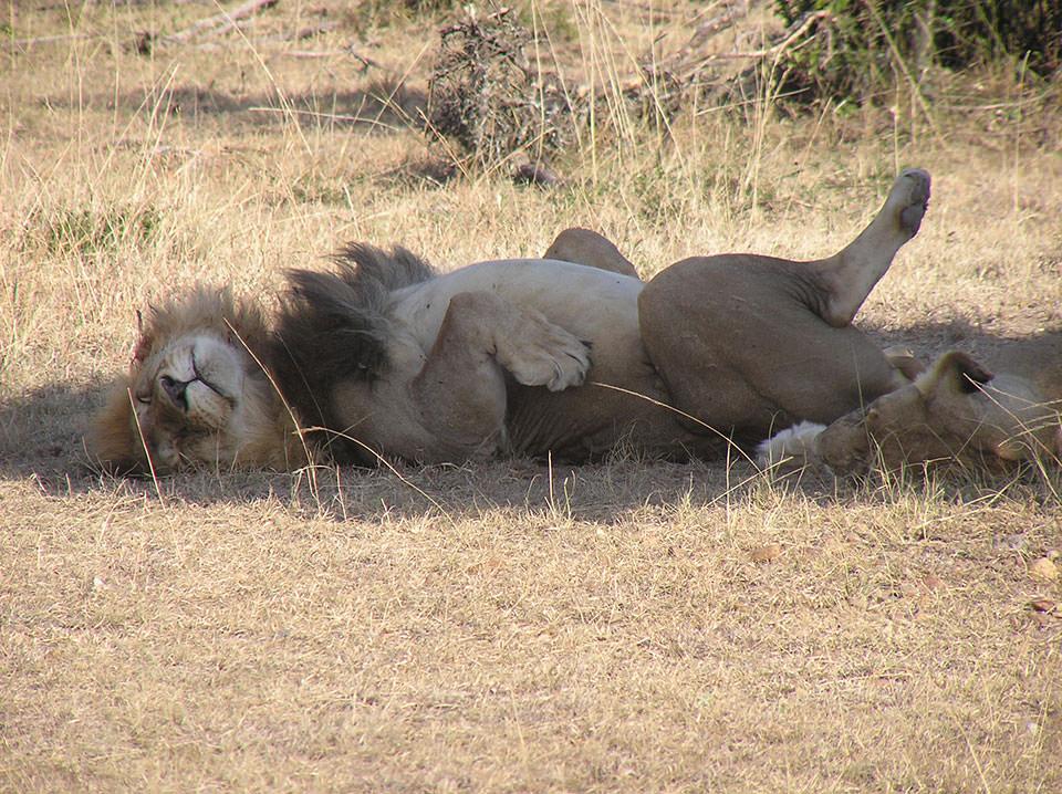 草食動物が枯れ草を1日食べ続けるのに ライオンはお腹いっぱい