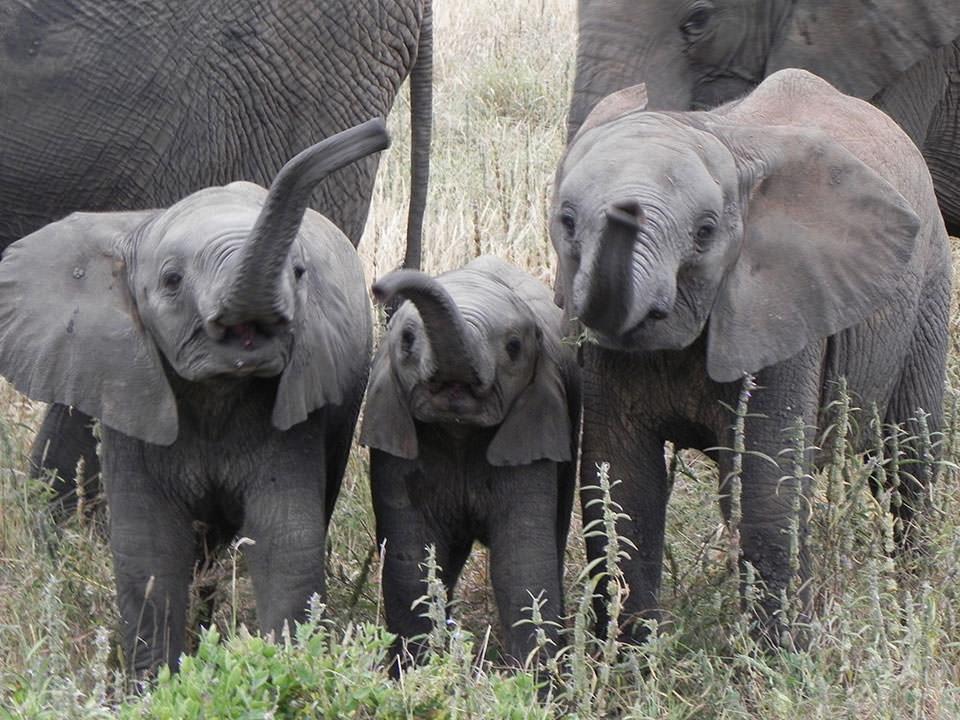 小象が3匹ふざけあっているのを見ていたら、近づいてきて挨拶をくれました。ラッキーかも。