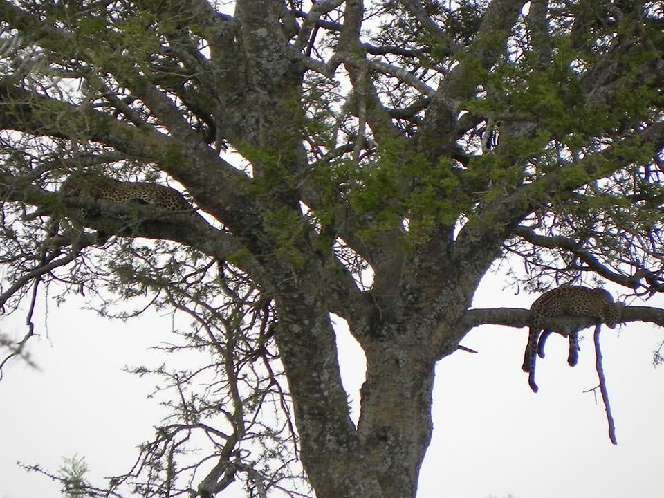 新婚のヒョウの夫婦が木の上でお昼寝中だそうです。始めは、指差されても全然分かりませんでした。