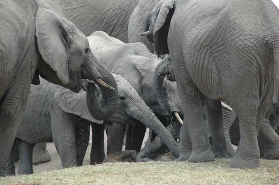 ゾウの親子の群れは大迫力でした!子ゾウがかわいい!