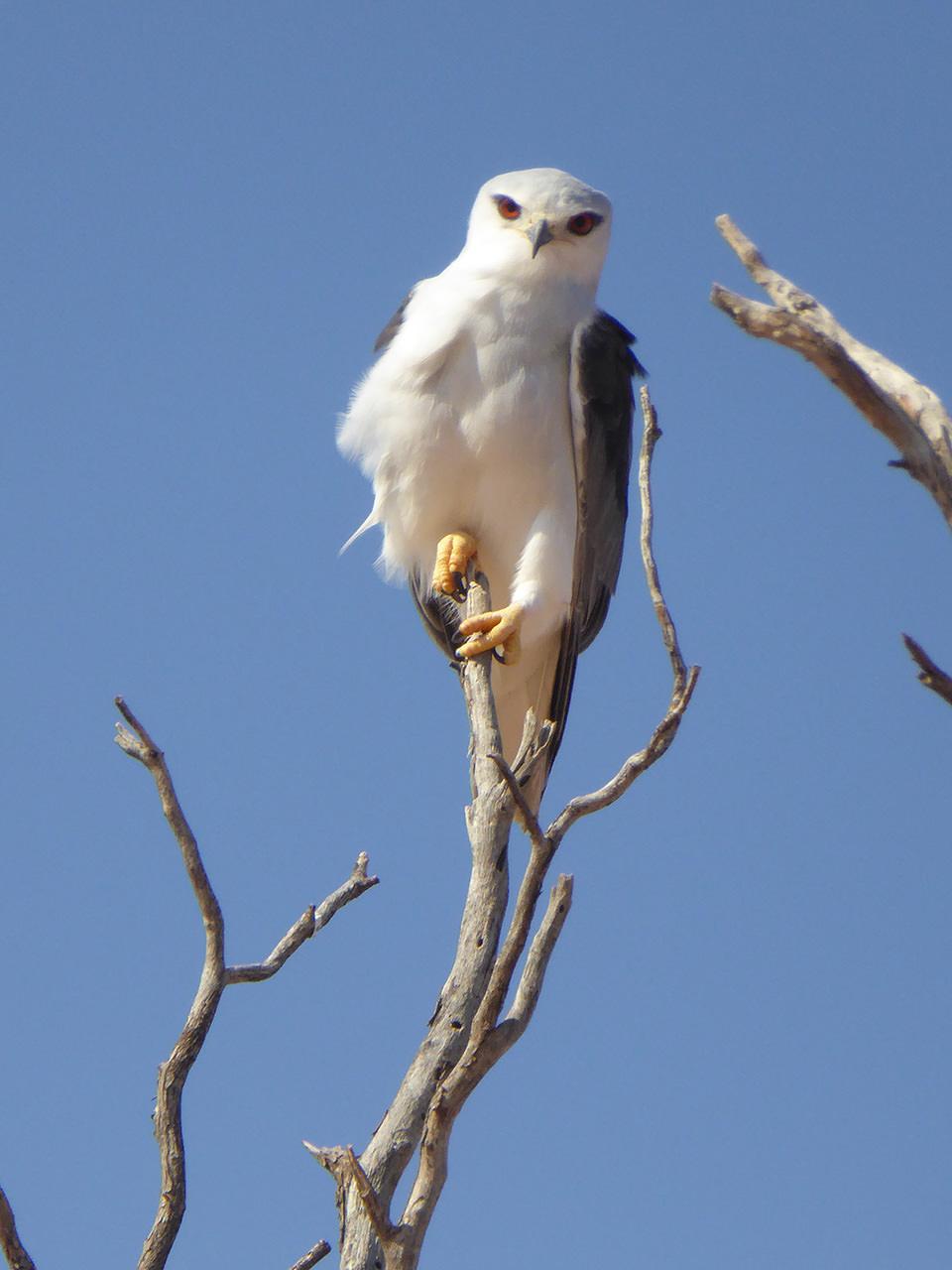こちらに帰ってきてから、年賀状を作成して友達に送りました。『酉年だし、この写真にしよー』っと軽い気持ちで年賀状にした鳥。最近、『なんて鳥なん?』と聞かれます…。正解はカタグロトビなんだそうです。