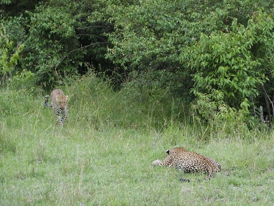 一匹で悠然と草の上でくつろいでいるヒョウを見れるのも珍しいとのことだったのに、しばらくして奥からもう一匹出てきた時は本当にびっくりしました。