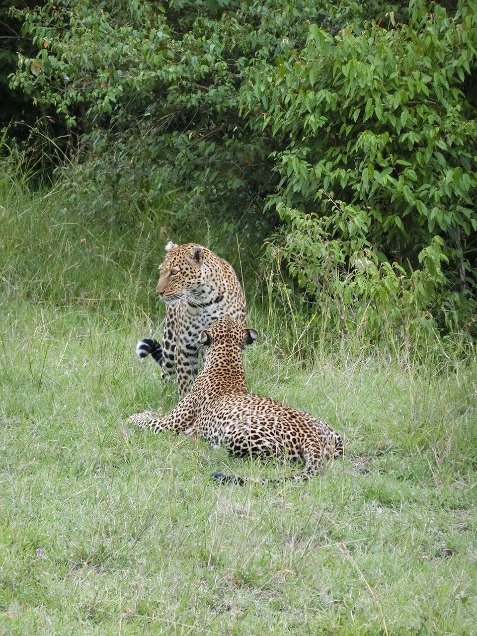 お母さんが子供に「大丈夫、怖くないよ。」と出てくるように誘導しているようで、その後親子がじゃれ合っている光景は、ガイドさんもびっくりの激レアショットとのこと。ケニア初訪問で「ビッグ5」を制覇できて本当にラッキーでした。
