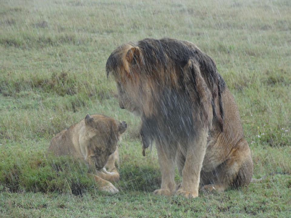 雨の中、ジッと耐えるライオン。雨上がりには体を温める為にじゃれ合う子ライオン達も見れました。