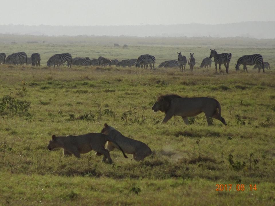 アンボセリの朝です。朝日を浴びた動物たちの姿を撮りました。意外とライオンとシマウマの距離が近いです。ライオンは悠々と前を歩いていきました。こんなに近くで草を食べてて大丈夫なんでしょうか、シマウマ達?
