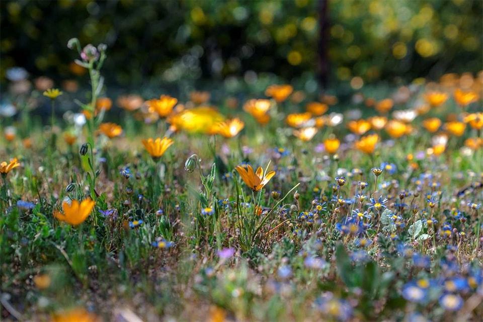 今年は雨が少なく例年の場所に開花が見られず、添乗員さんも苦労されたと思います。それとなくお花畑風に。