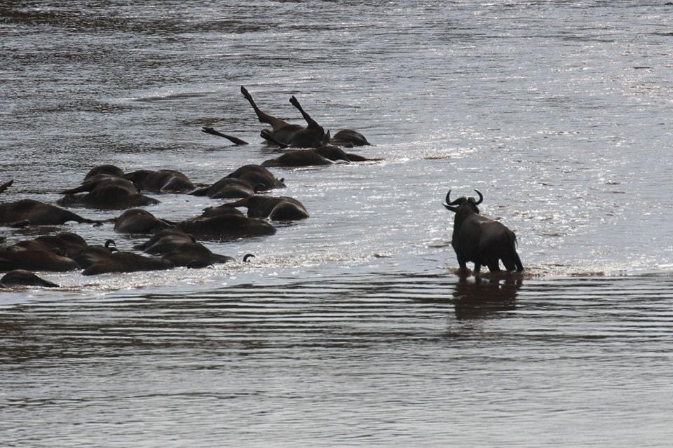 多数のヌーたちが、マラ川の渡河に閉口して、新天地を目指すのに、急流に、流されて、下流の、中州にたどり着いたが、仲間の溺死体を見て立ち竦むヌー。大自然は、弱きものは淘汰される厳しい現実。