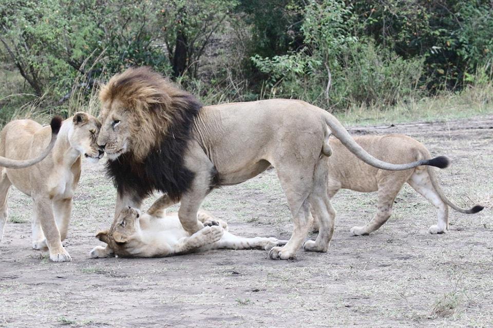 ライオンファミリーの一コマです。父親に甘える子供たち。癒されますね。