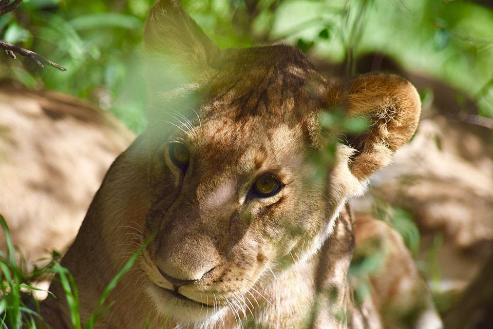 体は小さいけれど、相手を睨みつけるその目に、ライオンとしてのプライドを感じました。