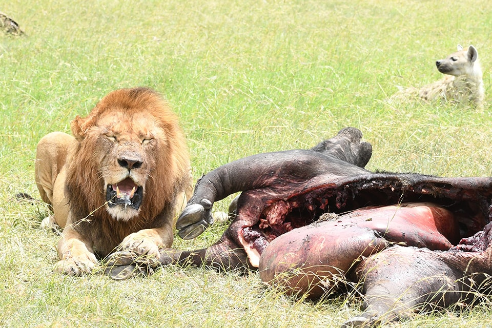 ライオンは夜行性のため狩りなどは、朝夕に狩りをするみたいです。残寝ながら狩りのシーンは他のライオン含めて、みんな失敗(´;ω;`) この子は狩りをし、お腹一杯なってお昼寝中。後ろにはハイエナ君いるのに。