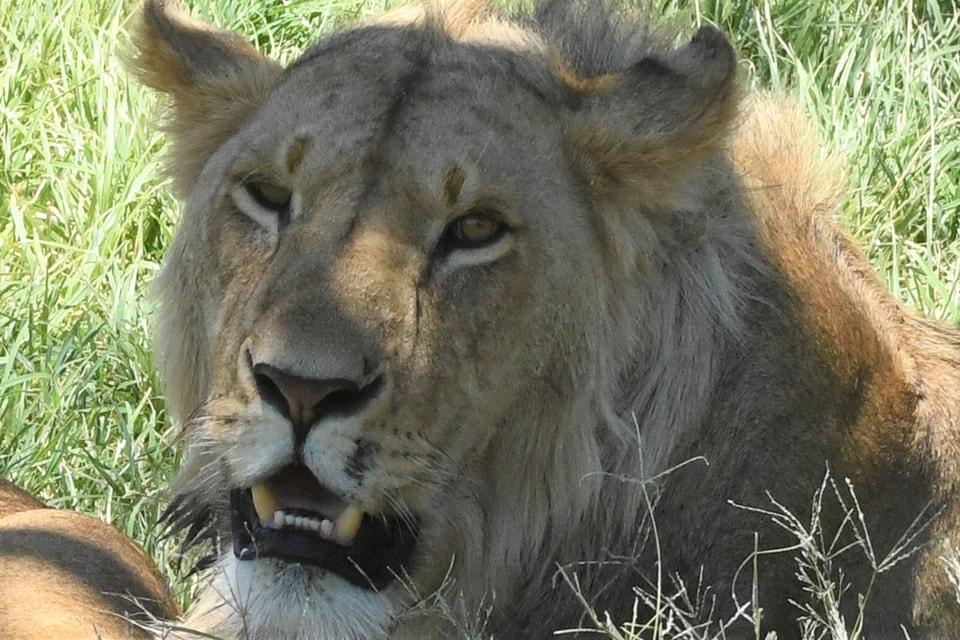この子たちは、ジャッカルを狙ってたけど失敗し諦め、休みはじめた所を数カット。ライオン君たちは狩りに失敗し、数日有りつけないこともあるらしい。また、自分たちのテリトリーがあり他の場所には狩りに行かないらしいです。この時期マサイマラは動物少なそうで早く餌にありつけるといいね。