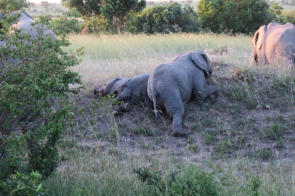 象の兄弟が遊んでいました。じゃれあったり寝転がったりしながらも、子象は赤ちゃん象にとても優しく接していて、心が和む光景でした。
