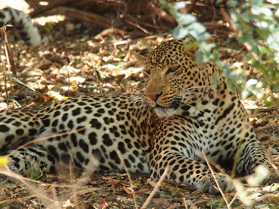ルアハではじめてヒョウを見ました。この日は暑くて木陰で休んでいるようでしたが、実は近くに巣穴があり、周りを象に囲まれた状態で警戒していたらしいです。