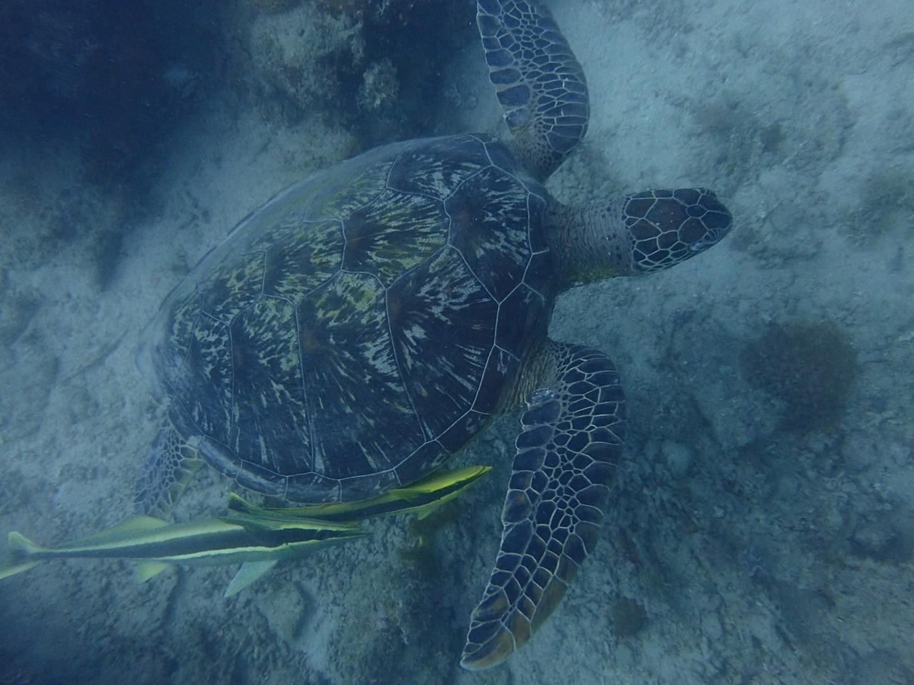 ザンジバルのダイビングで。珍しい模様のヒトデに気を取られていたら、カメが急接近してました。