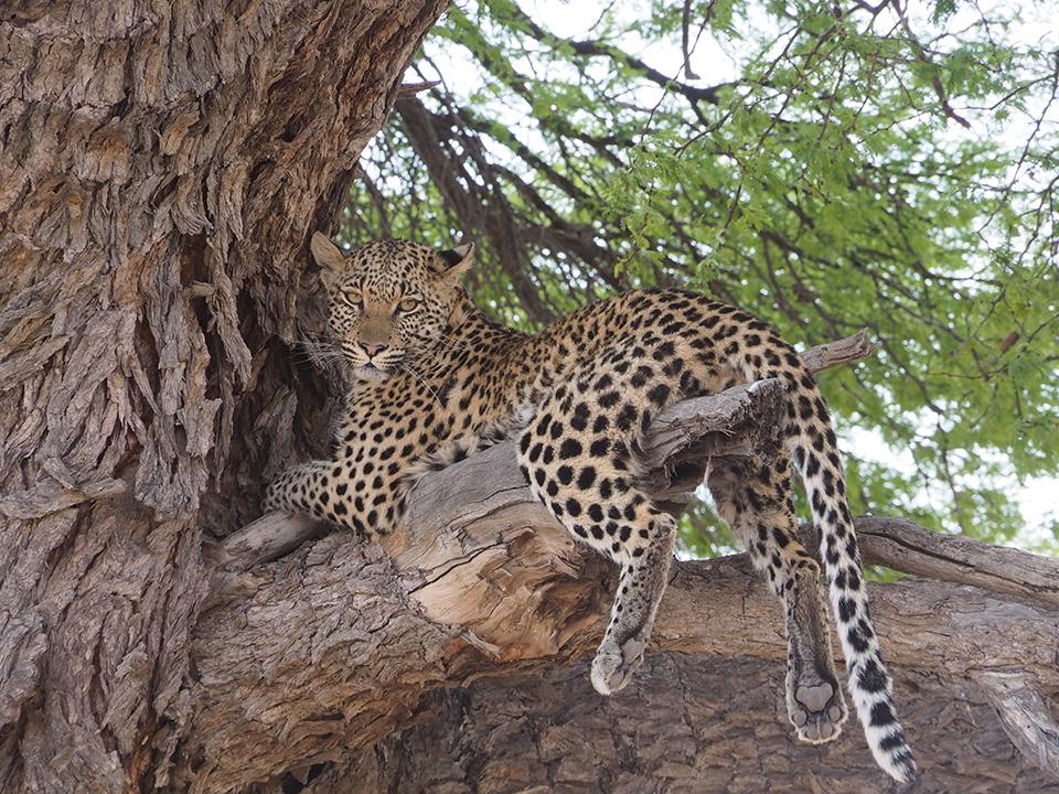 MATAMATAまでの一日ゲームドライブの途中、樹上で昼寝するレパードに遭遇。運良くカメラ目線をいただき、肉球もばっちり。