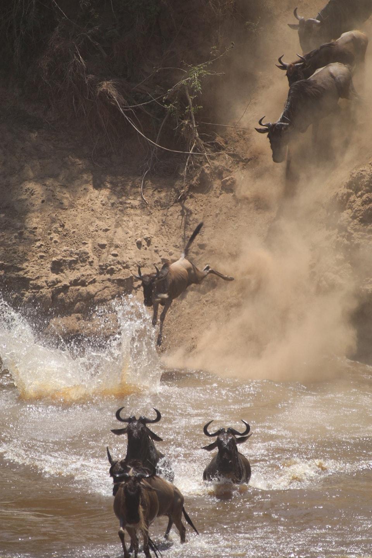 ヌーが川に飛び込む姿は勇敢そのもの。