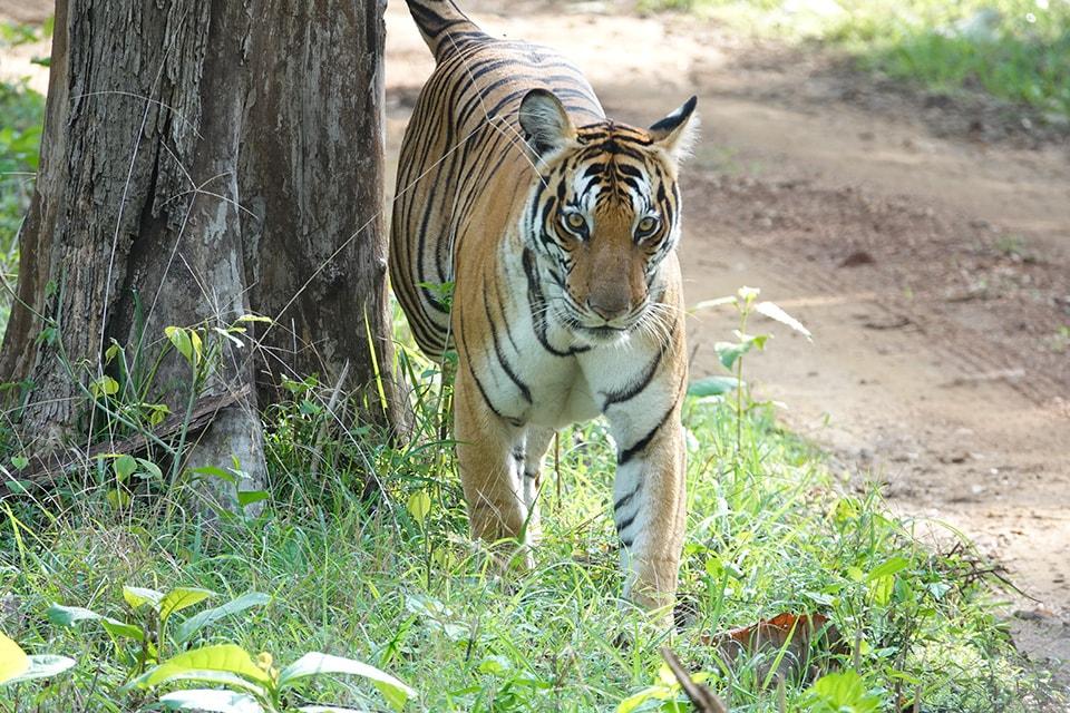 停車中(サファリカー)の前方の繁みの中から悠然と歩いてきた虎。