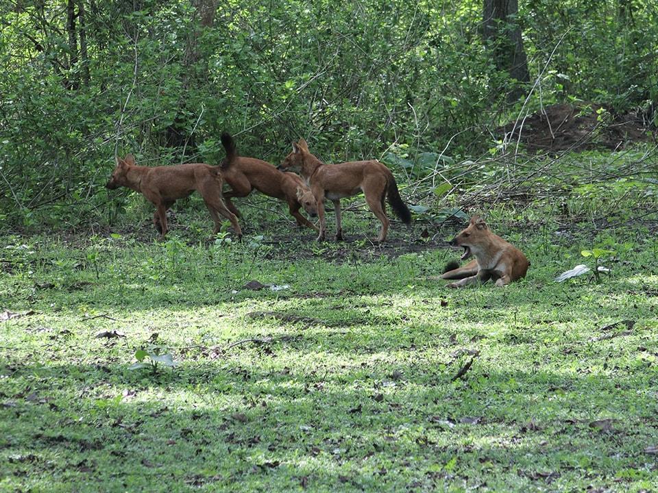 見た目は穏やかだけど、食事中(アクシスジカ)の姿は肉食動物。ハイエナに近いのかな。いい食べっぷりでした。