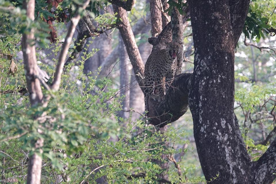 ヒョウ。カラハリでは見れませんでしたが、インドでは無事に見る事が出来ました。