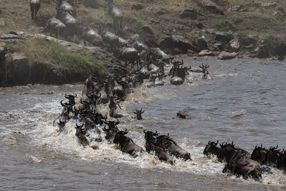 マラ川を渡る「ヌー」の群れ