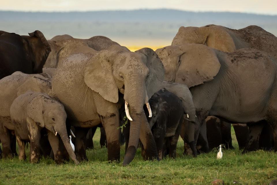 キリマンジャロもさることながら、アンボセリの印象はとにかくゾウ、ゾウ、ゾウ。参加者みんなで「どこが絶滅危惧種なの?」とつっこむほどの数でした。