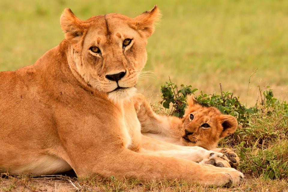 マサイ・マラで、ライオンの母子がじゃれているところを間近で見ることができました。のちに、この母子の周りには数多のサファリカーが集まることに。