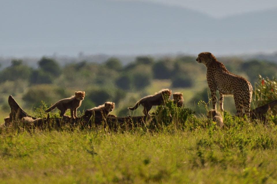 肉食獣の狩りのシーンには立ち会えませんでしたが、ライオンやチーターをはじめ、子育て中のほのぼのとした風景をたくさん見せてもらえました。