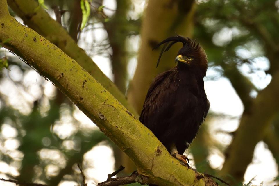 イケメン鳥です。ケニアは猛禽類の生息密度も日本とは比較にならないほどでした。