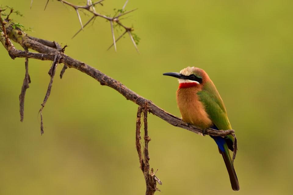このツアーで出会った一番美しい鳥です。喉元の赤、尾の付け根の青、原色のアクセントが際立っています。