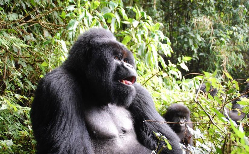 アフリカ中央部にのみ生息する森の哲人「マウンテンゴリラ」