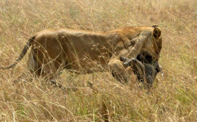 タンザニア・セレンゲティ国立公園で雌ライオンがイボイノシシをハンティング