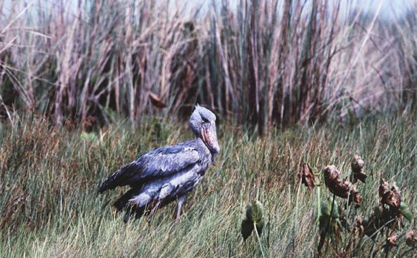 アフリカで一番人気かもしれない鳥・・・ハシビロコウ