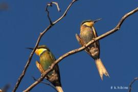 アカシアの木に止まっている鳥