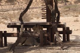 休憩スペースのライオン
