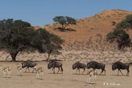 砂丘とアカシアと動物たち