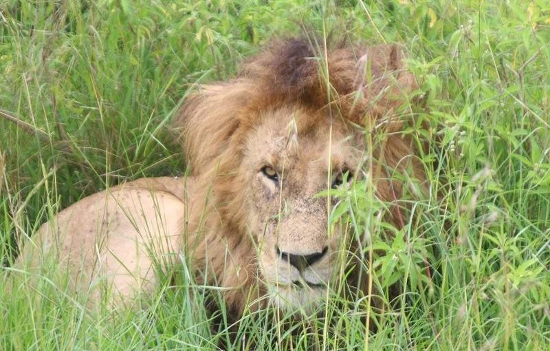 百獣の王「ライオン」