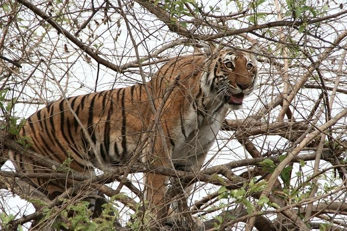 インド最古の国立公園でワイルドサファリ 8日間