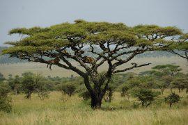 木登りライオン