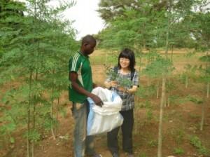 モリンガ葉の採取