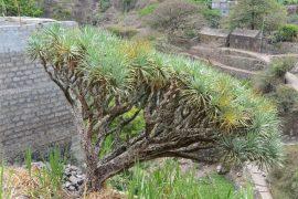 イエメンのソコトラ島で有名な竜血樹。この島の固有の植物も見られます。