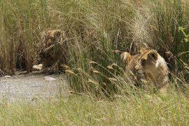 草むらのライオン