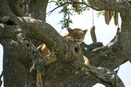 木登りライオン、メス