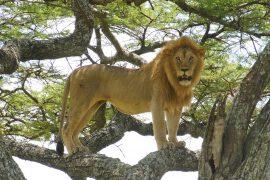 木登りライオン、オス