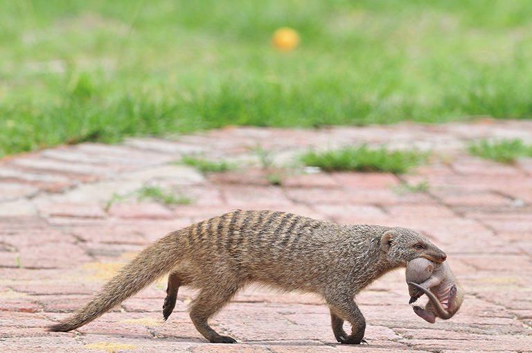 WILD AFRICA 11 シママングースの引越し