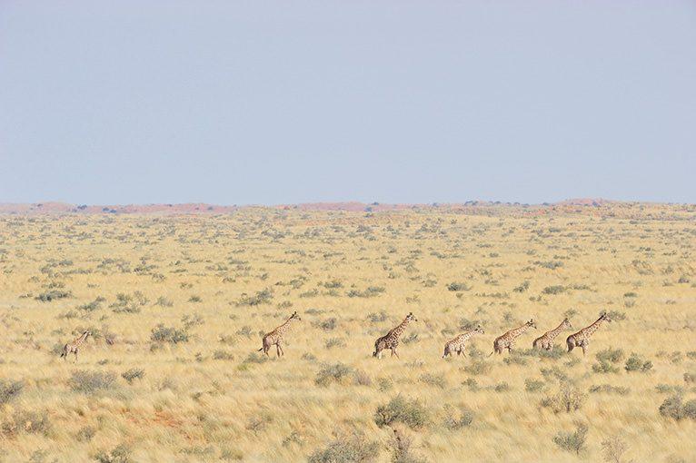 WILD AFRICA 17 砂漠のキリン