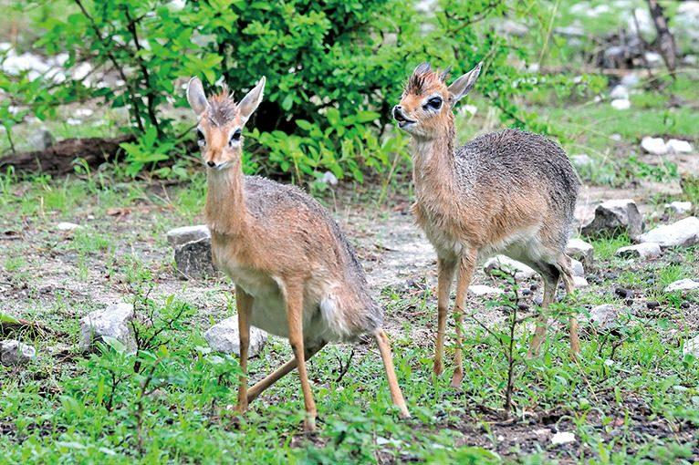 エトシャ国立公園のディクディク
