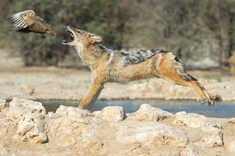 WILD AFRICA 25 セグロジャッカルの狩り
