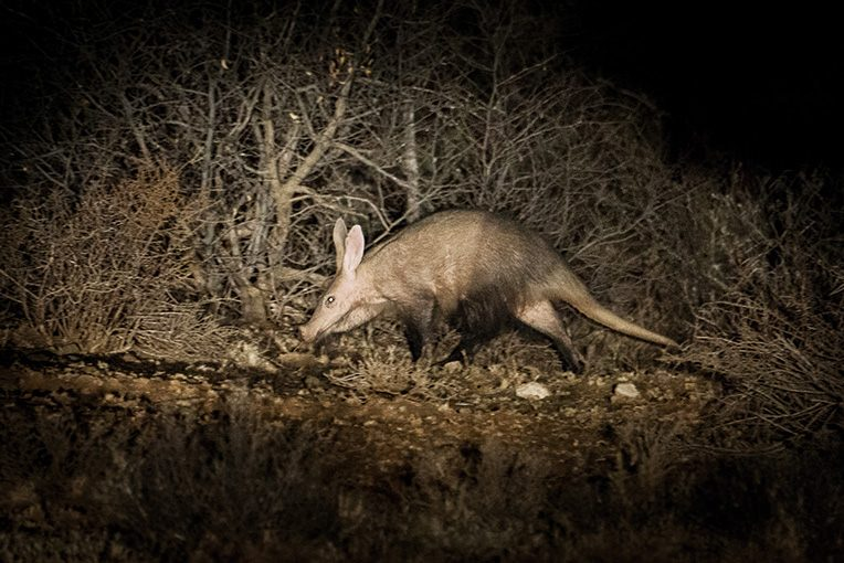 WILD AFRICA 29 サバンナの珍獣・ツチブタ
