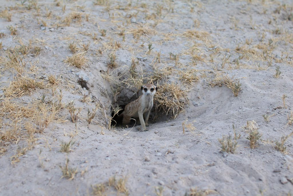 パンに行く途中で見つけられたミーアキャット